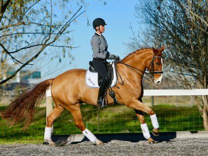 FEI Schoolmaster - Warmblood Dressage Horse for sale
